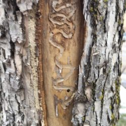 EAB Ash Tree Removal Roseville