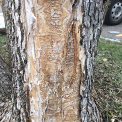 Invasive Species Tree Disease Minneapolis